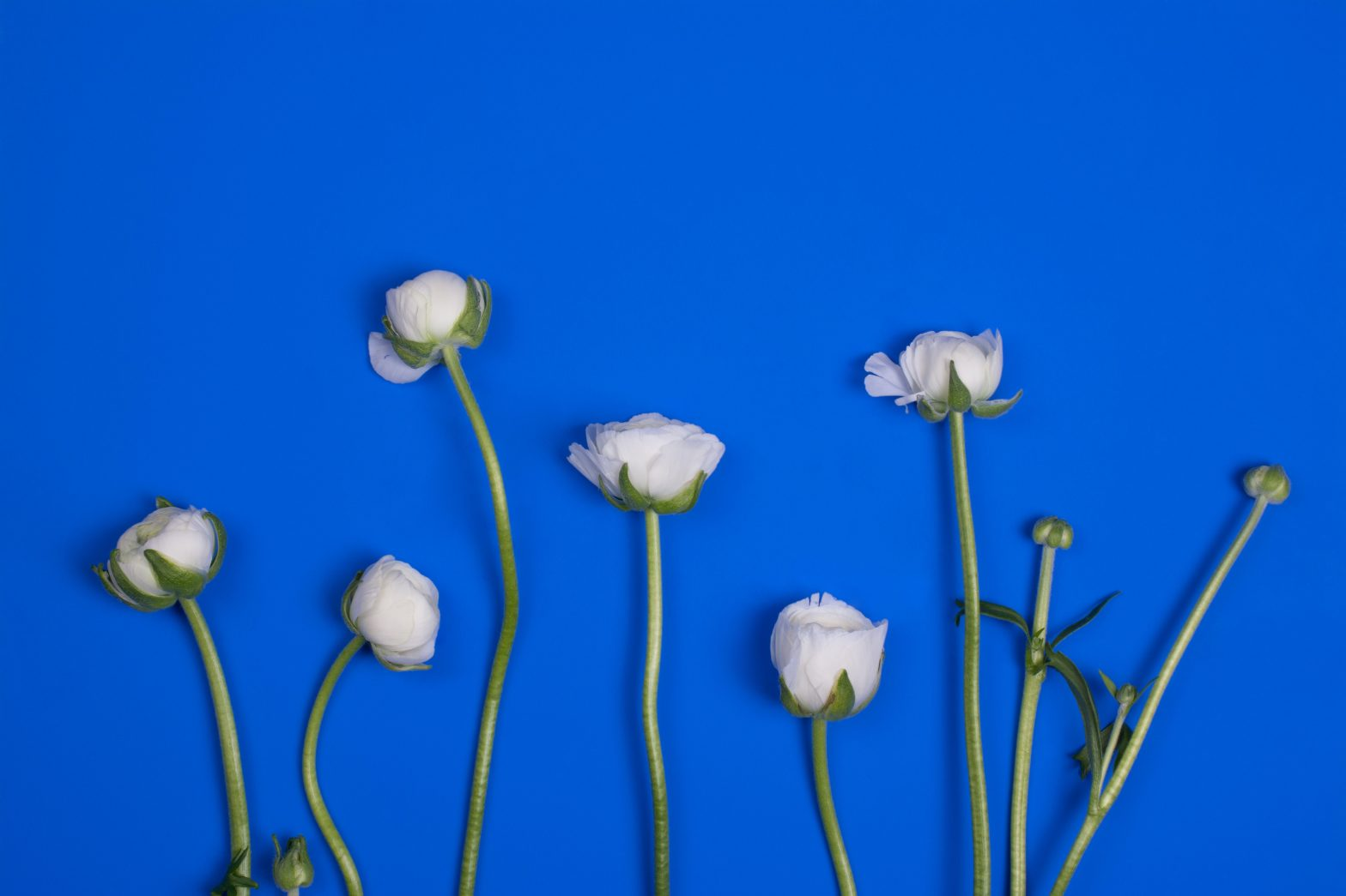 A photo of white flowers in the process of budding and blooming on a blue background